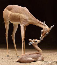 Baby gerenuk & mother by Debbie Beals