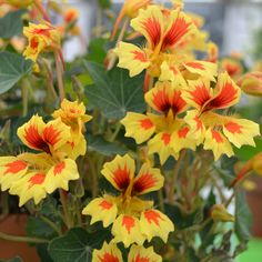 Nasturtium 'Fruit Salad' - Annual Plants - Thompson & Morgan