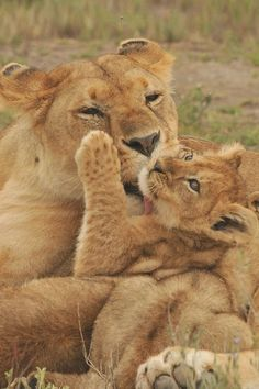 Lioness and cub #BigCatFamily