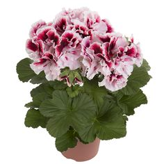 Rare geranium seeds Variegated Geranium seed winter garden flower for bonsai potted plant for home & garden Planting Orchid Seeds, Flower Seeds, Flower Pots, Home Garden Plants, Garden Pots, House Plants, Potted Garden, Bonsai Seeds, Bonsai Plants