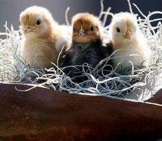 #aves #pollitos #ternura #pájaros #mascotas En @tiendanimal nos ha encantado esta foto. www.tiendanimal.es