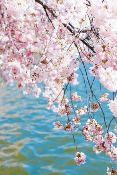 Cherry Blossoms