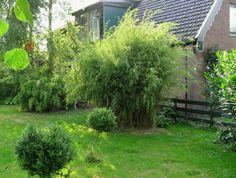 "Fargesia nitida ""Blue Fountain"" Bamboo. Hardiness -20F, zone 5-9. Height 12-15 feet"