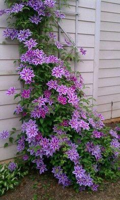 Clematis on shady side of the house.}}}http://pinterest.com/pin/240661173816968010/ - My New Gardening Plan #gardenvineshouse