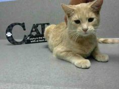 ID#A442243  I am described as a male, cream Domestic Shorthair.  The shelter thinks I am about 1 year and 1 month old.  I have been at the shelter since Oct 29, 2014 and I am available for adoption now!  If you think I am your missing pet, please call or visit right away. Otherwise, please visit me in person as shelter staff are busy caring for my needs.