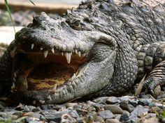 O religioso, identificado como Jonathan Mthethwa, ignorou que o fato de que o rio costuma estar infestado de crocodilos O Globo Crocodilo F...