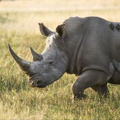 Remember Saturday is World Rhino Day! Some species particularly the white rhino may live in a group known as a crash. These crashes are made up of a female (cow) and her calves although sometimes cows can be seen together too. Female Cow, Hippopotamus, Cows, Lodges, Did You Know, Safari, Group, Live, Animals