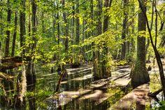 First Landing State Park: http://www.abpan.com/cypress-swamp-in-first-landing-state-park/