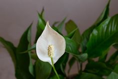 indoor air quality 10 Houseplants You Hardly Ever Have To Water Peace Lily www. Ficus, Peace Lily Care, Peace Plant, Smart Garden, Mother Plant, Outdoor Plants, Plants Indoor, Low Maintenance Plants, Office Plants