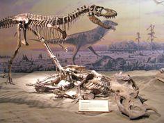 A Gorgosaurus feasting on a drowned Centrosaurus.