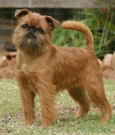 Brussels Griffon. I will have one!