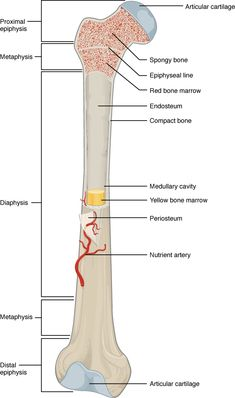 A typical long bone shows the gross anatomical characteristics of bone.