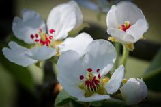 Birnenblüte by Ralf Michael Klotz on 500px
