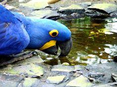 arara-azul na hora da hidratação