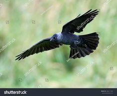 This photo was sold today @ Shutterstock Western jackdaw in flight https://www.shutterstock.com/da/image-photo/western-jackdaw-flight-vegetation-background-486211264