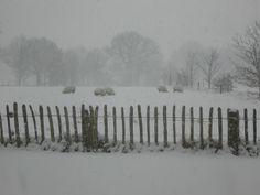 Schapen in de sneeuw. Uffelte