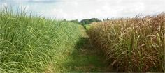 Switchgrass: Cut management and Harvest period. Bioenergycrops.com