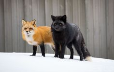 A pair of urban red foxes downtown Charlottetown, Prince Edward Island. : A pair of urban red foxes downtown Charlottetown, Prince Edward Island. Wild Life, Animals And Pets, Baby Animals, Cute Animals, Beautiful Creatures, Animals Beautiful, Fuchs Baby, Wolf Hybrid, Carnivore