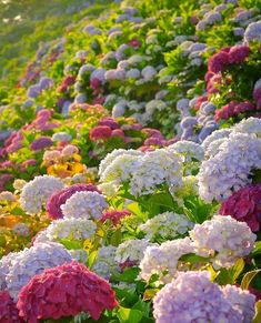 Fun fact: Hydrangeas are one of few plants that accumulate aluminium. Aluminium is released from acidic soils, and forms complexes in the hydrangea flower giving them their blue color. The more aluminum they absorb, the more blue the flowers! Hydrangea Bush, Hydrangea Care, Hydrangea Flower, Hydrangea Macrophylla, Amazing Flowers, Colorful Flowers, Beautiful Flowers, Colorful Garden, Dried Flower Bouquet