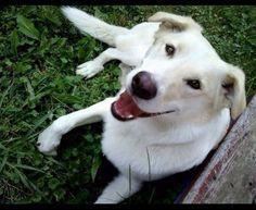 Stolen Dog - Labrador Retriever - London, ON, Canada N5V 1R6