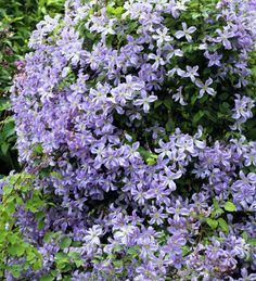 Clematis 'Prince Charles': Sun/Partial Shade. Flowers Throughout July & August.