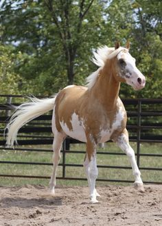 Sato  199616hh Dominant White + Palomino Thoroughbred Stallion standing at Blazing Colours farm. JC and APHA registered.