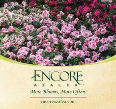 Encore Azalea Brochure 2014