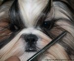 How to groom a shih tzu puppy by http://totallyshihtzu.com