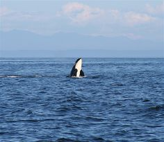 We saw lots of Orcas on San Juan Island - just standing on the shoreline EARLY in the morning. Better than the whale-watching tour!