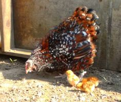Jubilee Orpington Hen with chicks.