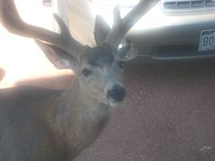 The deer around here are utterly fearless at times. Woodland Park, Colorado.