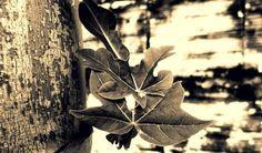 Leaf of papaya tree