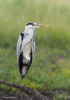Grey Heron in the rain - Wildlife Photographic Journals: July 2012