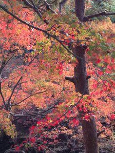 Autumn color leaves @Toufukuji, Kyoto