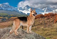This German Shepherd loves the outdoors...  Click on this image to see more beautiful pictures of German Shepherd