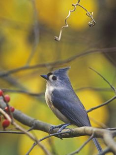 Tufted Titmouse - another of my favorite birds.