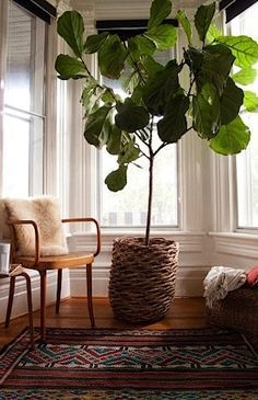Image result for indoor trees in hot climates