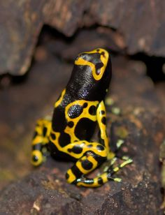 Poison dart frogs (or poison arrow frogs) are found in central and south america.  Their venom is due to a distilation from the insects they eat in nature.  Captive bred frogs are not poisonous.