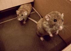 Rat - cool photo
