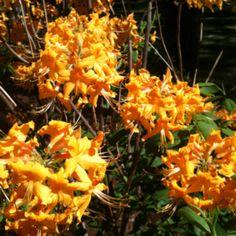 Wild orange azalea