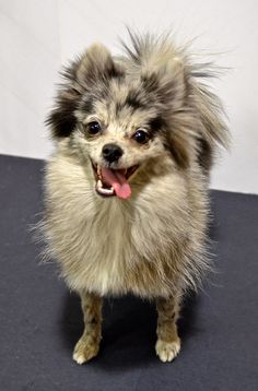 Blue merle Pomeranian love the color