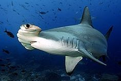 Underwater Photography Contest: 2010 Winners | The Rosenstiel School of Marine and Atmospheric Science at the University of Miami     Scalloped Hammerhead Shark
