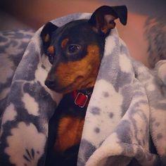 Min pin Laylah Mini Pinscher, Miniature Pinscher, Doberman Pinscher, Chihuahua Puppies, Cute Puppies, Cute Dogs, Small Dog Breeds, Small Breed, Min Pin Dogs
