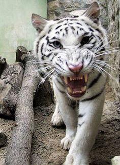 Image from http://www.independent.co.uk/migration_catalog/article5133670.ece/alternates/w620/albino-tiger-GETTY.jpeg.