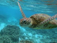 The decline of the world's coral reefs threatens to destroy huge swathes of marine life such as this Hawksbill sea turtle- Ocean Acidification