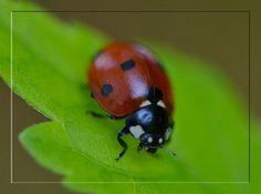 Ladybug by FrankAndCarySTOCK.deviantart.com on @deviantART
