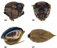 Taxonomy and Biology of Andricus miriami (Hymenoptera: Cynipidae ...