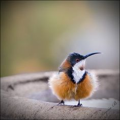 My goodness those are some fluffy . . . pantaloons? on that eastern spinebill.