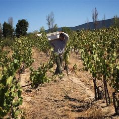 We beat the Cornices to the Mataró this year - #gwcobagualvineyard #gwcoharvest2017
