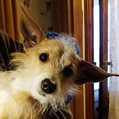 Kalamazoo, Michigan - Jack Russell Terrier. Meet Tippy, a for adoption. https://www.adoptapet.com/pet/21126711-kalamazoo-michigan-jack-russell-terrier-mix